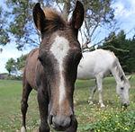 Stock Horse Aromist Venus