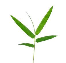Bladeren van het bamboe