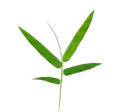 Les feuilles de bambou