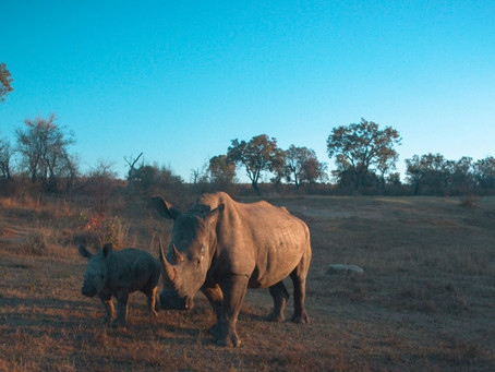 Using Internet of Things (IoT) Technology to Protect Endangered African Rhinos