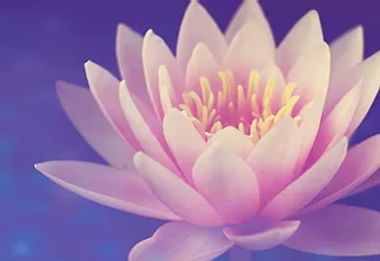 Lotus.webp