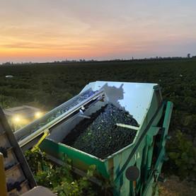 FFG Grape Harvesting