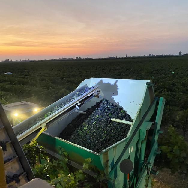 FFG Grape Harvesting