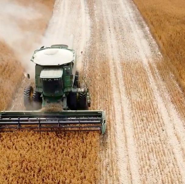 Safflower Harvest