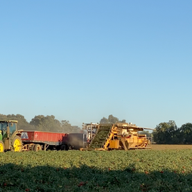 KLM Ranches Tomato Harvest