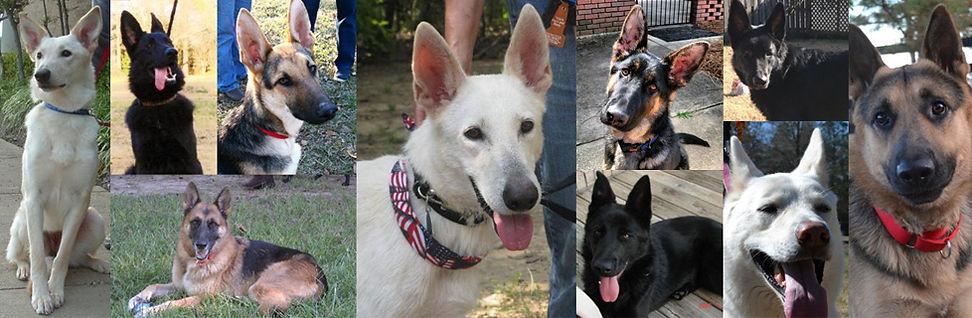 helping shepherds of every color german shepherd dog animal rescue group