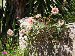 rose de grasse