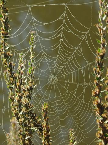 Toile d'araignée dans le marais de goulaine