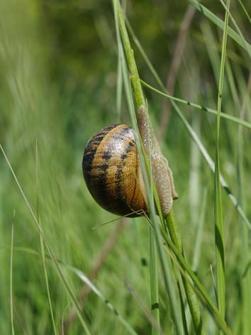 Les escargots dans le marais