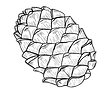 Pine_Cone%203_edited.png