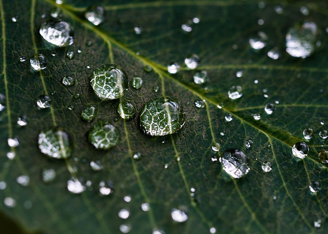 Leaf with water droplets.jpg