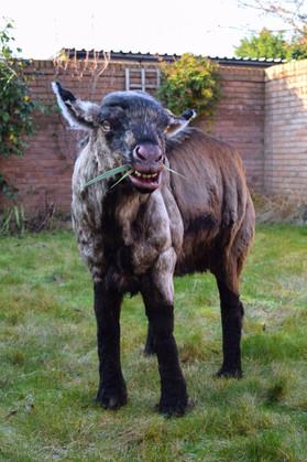 Goat prop