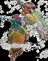web hummingbirds.png