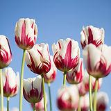 flower-tulips.jpg