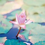 flower-lotus.jpg