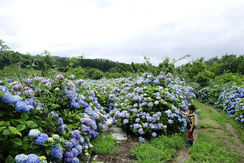 蓮華ファームのあじさい|熊本県人吉球磨|TAPESTRY OF HITOYOSHI LIFE