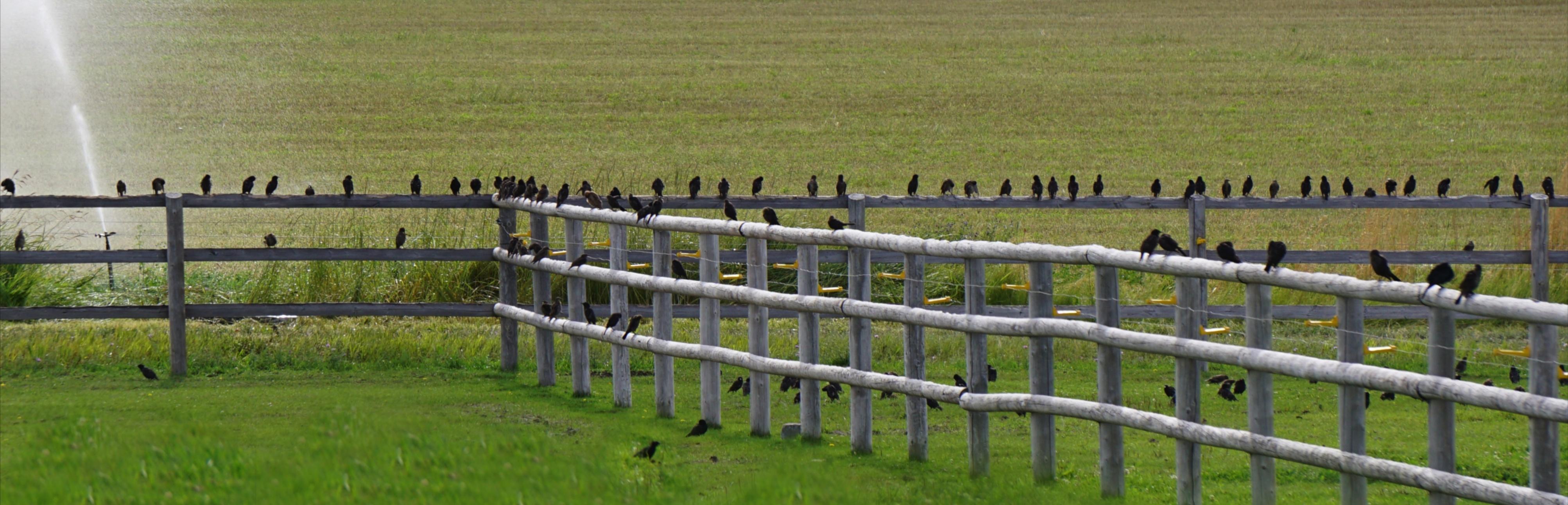 Birds on fence 7:2015