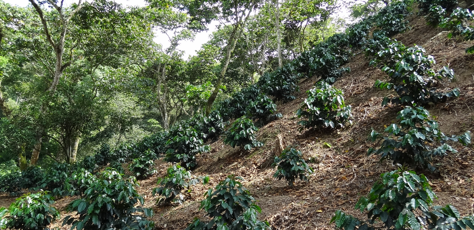 1 year old coffee plants