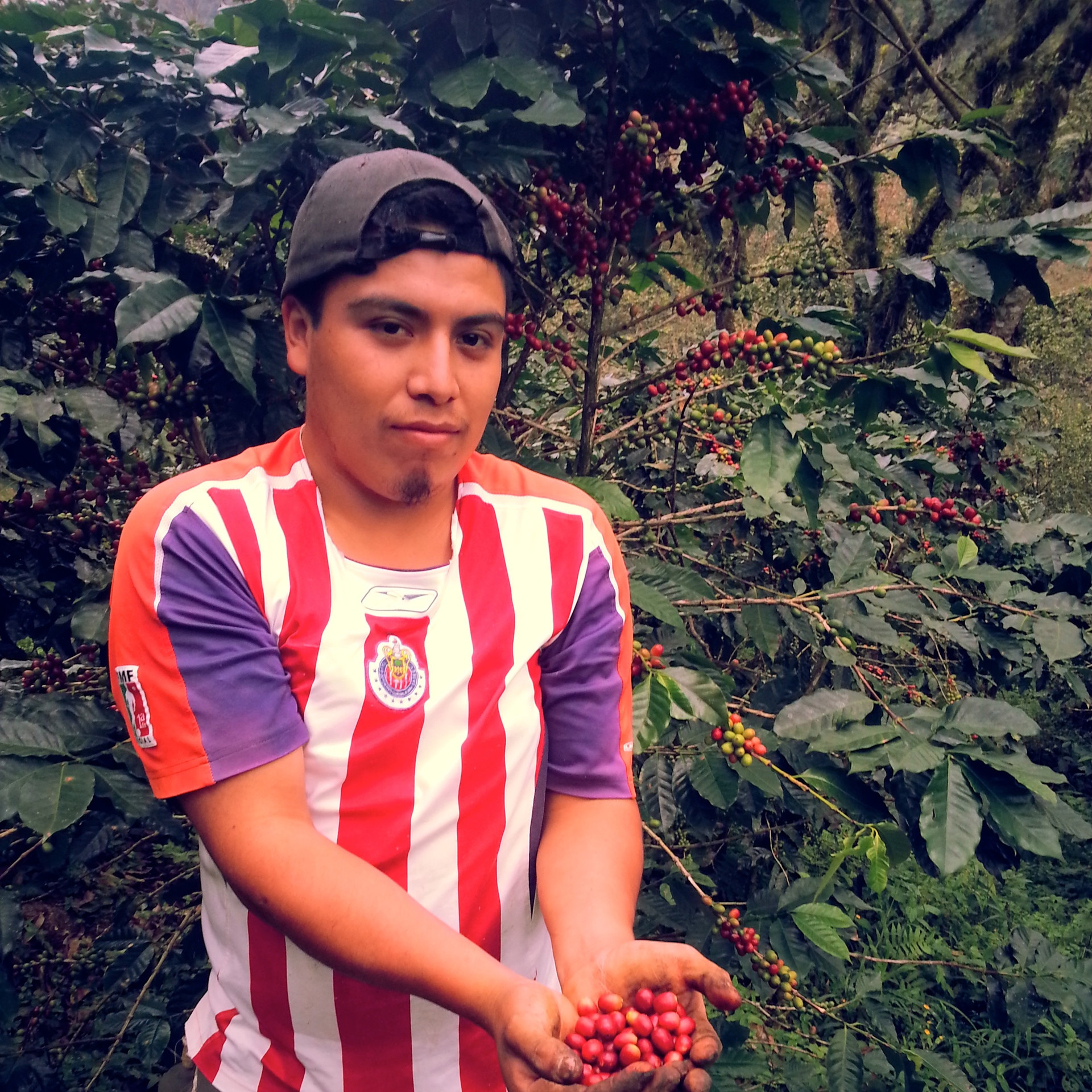 Ismael harvesting Coffee