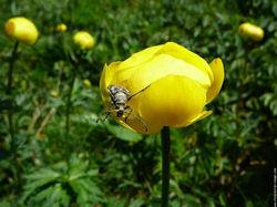 Fleur Trolle