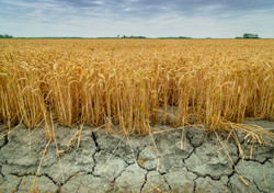 Wheat crops suffer as drought continues. Wheat field with very dry soil