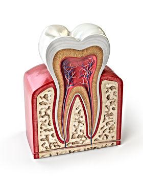 dental-tooth-anatomy-cross-section-of-hu
