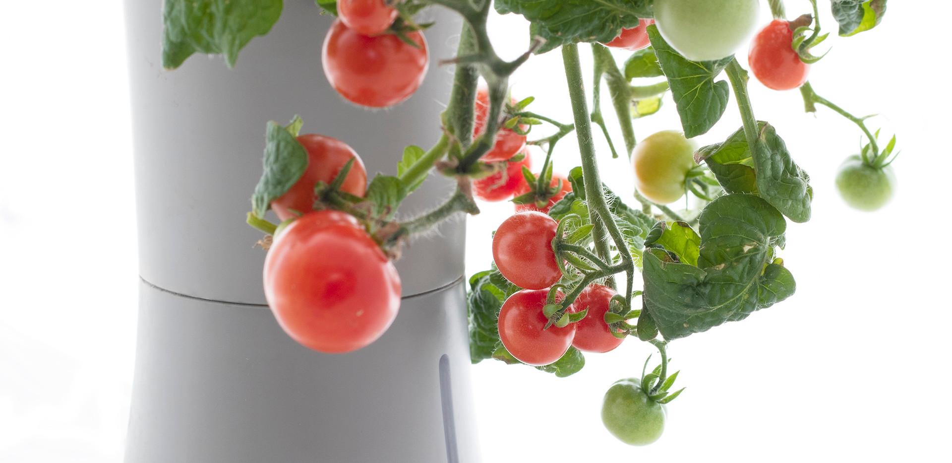 tomato_closeup.jpg