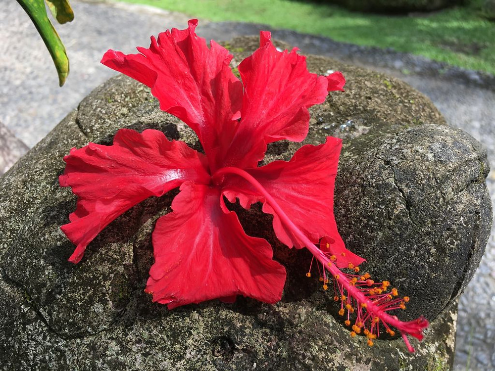 A  beautiful red Hibiscus is everywhere in this resort