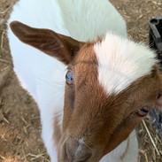 Adopt Nathan the Goat.jpg
