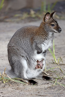 cute wallaby with child sitting in pouch