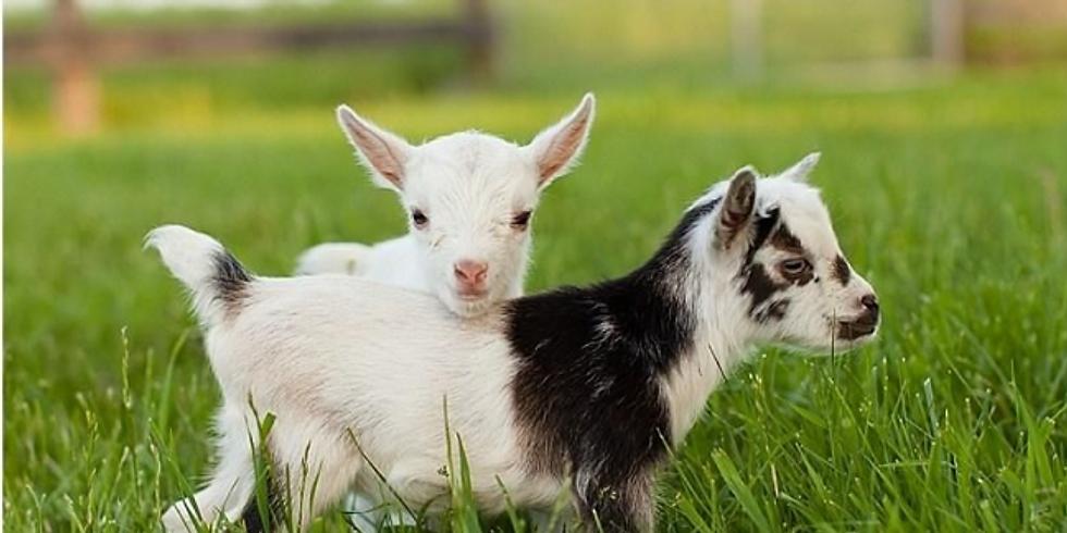 Baby Goat Cuddles
