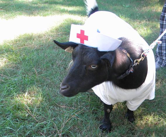 Goat in costume.jpg