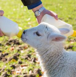 Baby Bottle Sheep