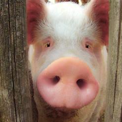 Piggy Peeks