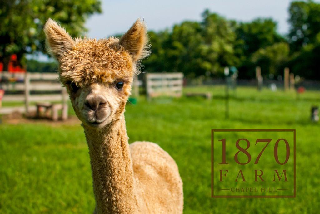 Baby Alpaca 1870 Farm.jpg