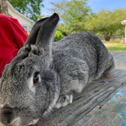 Socks the Rabbit.jpg