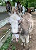 Adopt a friend Beau mini Donkey.jpg