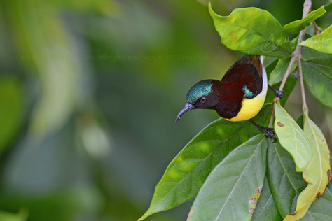 Purple-rumped Sunbird (Male)
