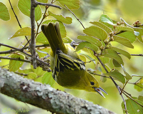 Common Iora (Female)