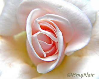 A Rose In My Garden Of Wonderful Thoughts is a poem written by Anuj Nair. It is a Picture poem / Photo poem.