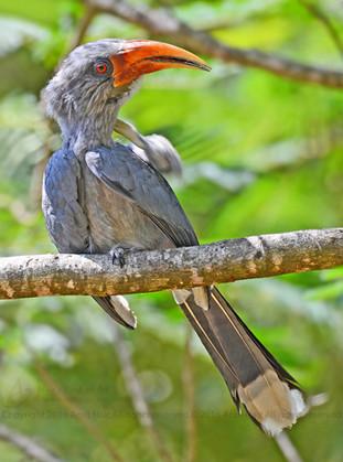 Malabar Grey Hornbill (Male)