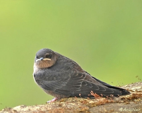 Hill Swallow - Juvenile