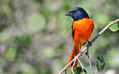 Orange Minivet (Male)