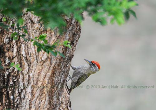 Streak-throated Woodpecker(Male)