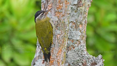 Streak-throated Woodpecker ( Female)