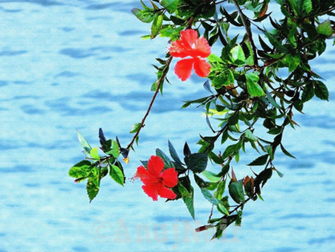 Hibiscus by the lakeside