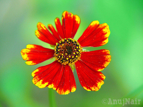 Firewheel / Indian Blanket flower
