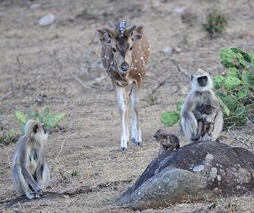 South-Eastern Langur / Grey Langur / Hanuman Langur / Tufted gray langur / Leaf-eating monkey