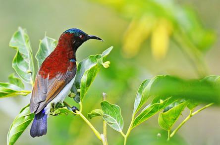 Purple-rumped Sunbird (Male)