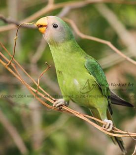 Plum-headed Parakeet- Juvenile